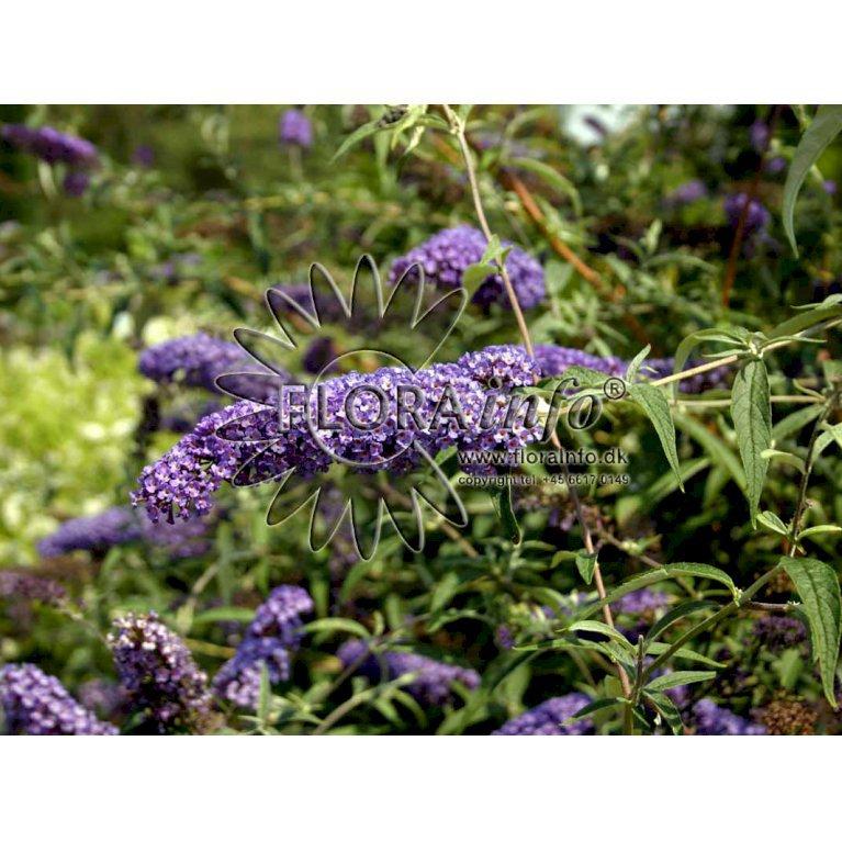 Sommerfuglebusk 'Nanho Blue'