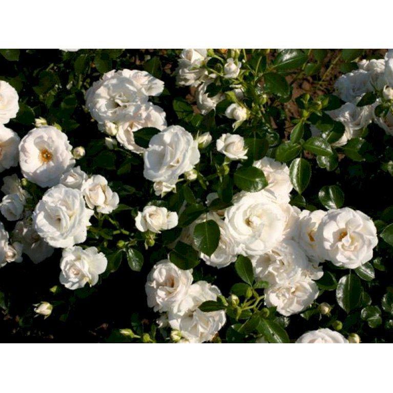 Buketrose 'Aspirin Rose'
