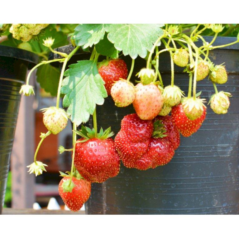 Jordbær 'Polka'