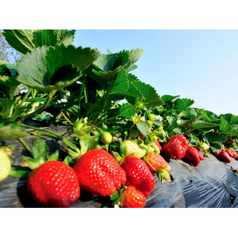 Jordbær 'Honeoye'