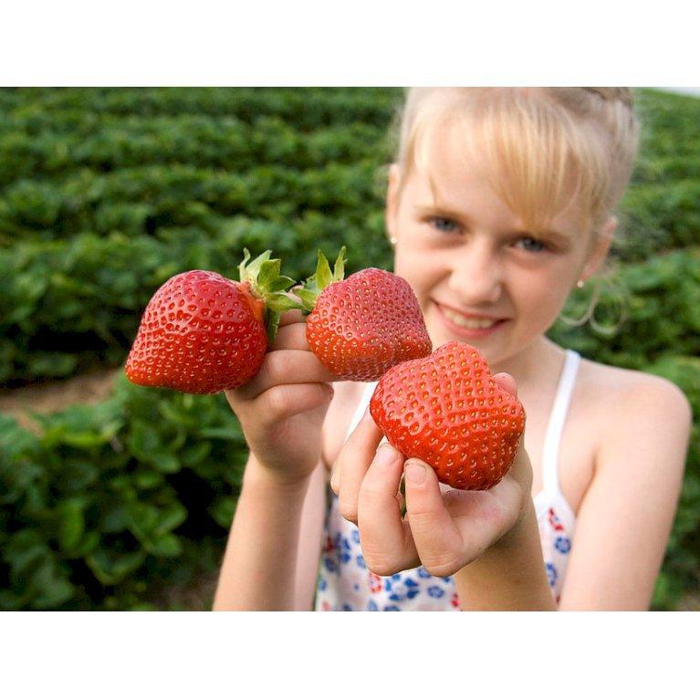 Jordbær 'Malvina`