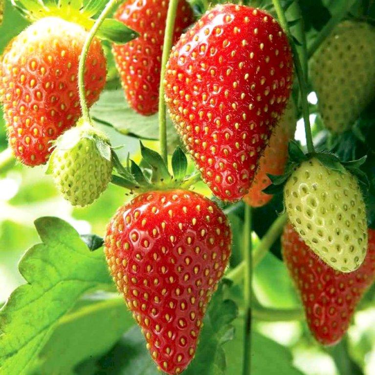 Jordbær 'Ostara'