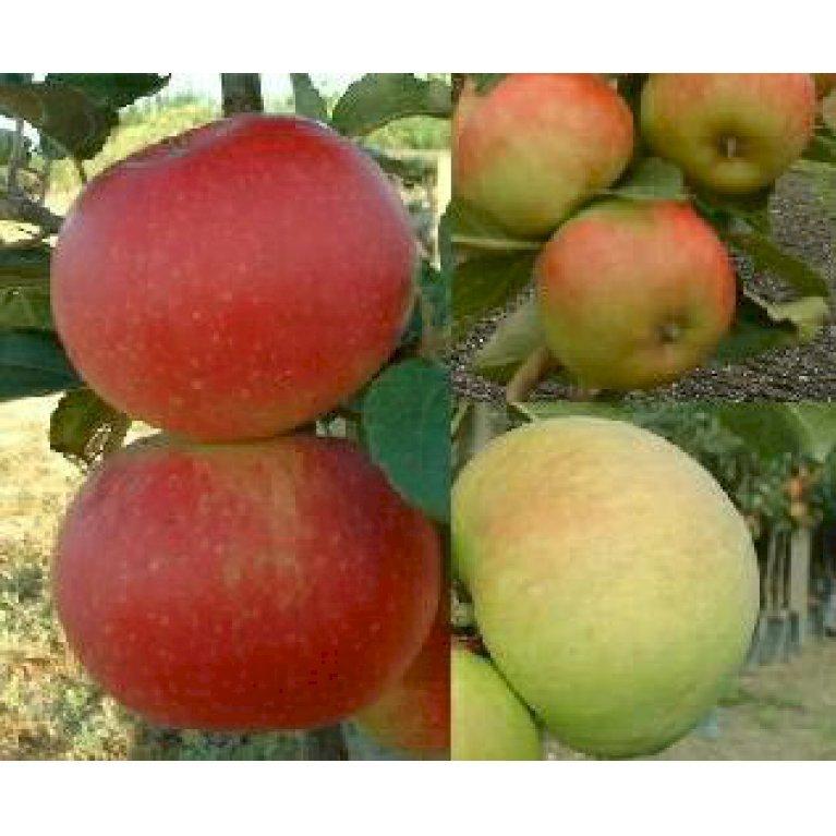 Familietræ Æble med 3 sorter