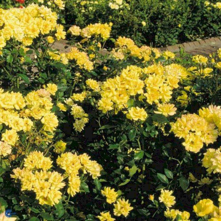 Buketrose 'Goldmarie 82'