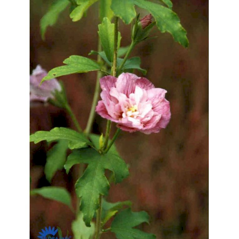 Syrisk Rose 'Lavender Chiffon' (R)
