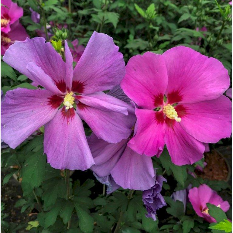 Syrisk Rose 'Russian Violet' (R)