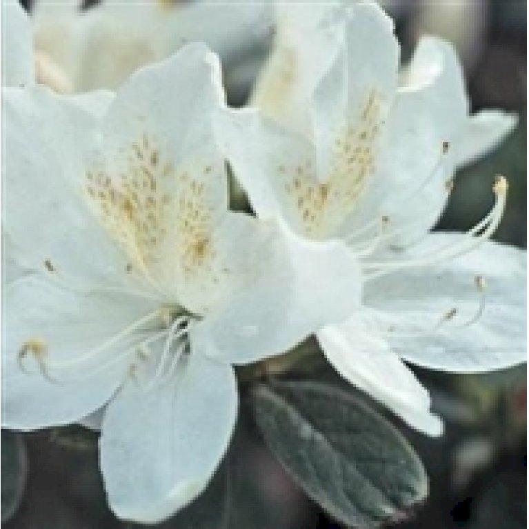 Japansk azalea 'Palestrina'