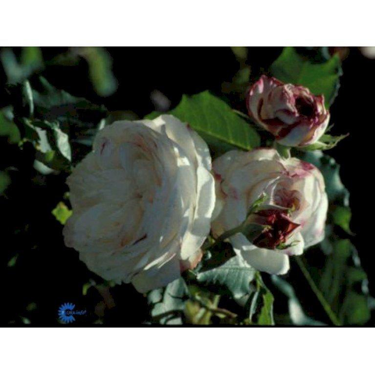 Gammeldags Rose 'Boule de Neige'