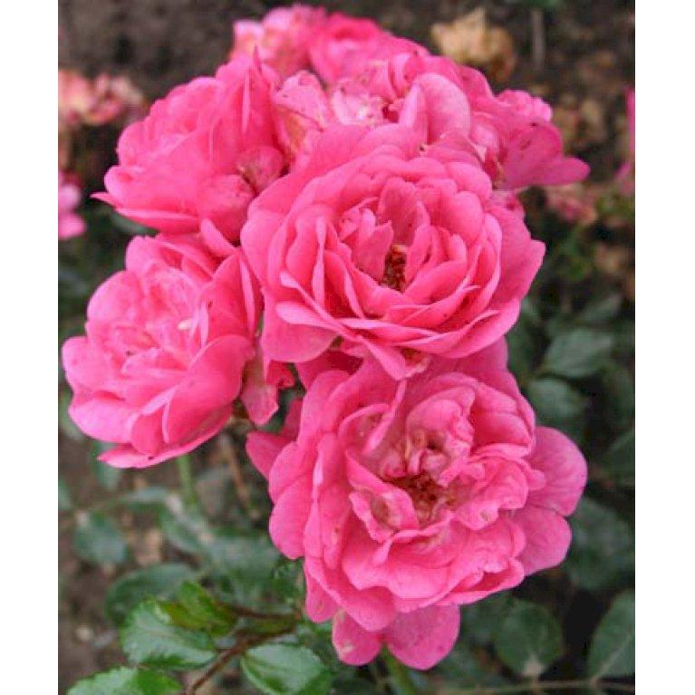 Flot Bunddækkende rose 'Pink The Fairy' - Plantetorvet.dk IN-32