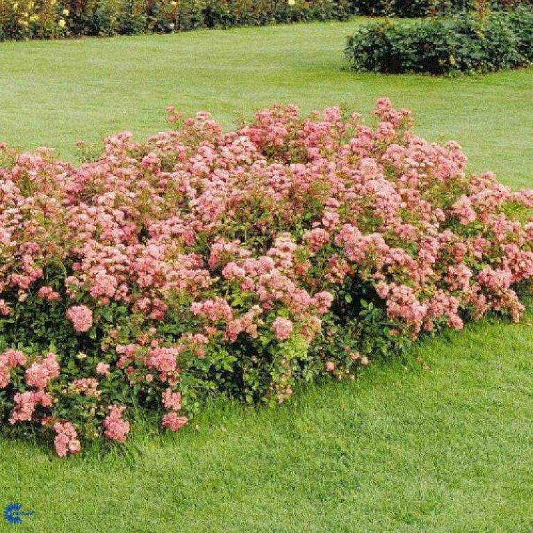 Ubrugte Bunddækkende rose 'Pink The Fairy' - Plantetorvet.dk RU-11