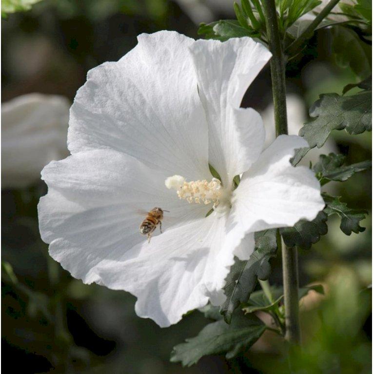 Hibiscus Syriacus 'Eleonor'