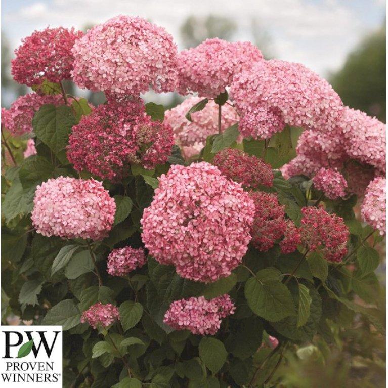 Hydrangea Arb. 'Invinc. Pink Annabelle''