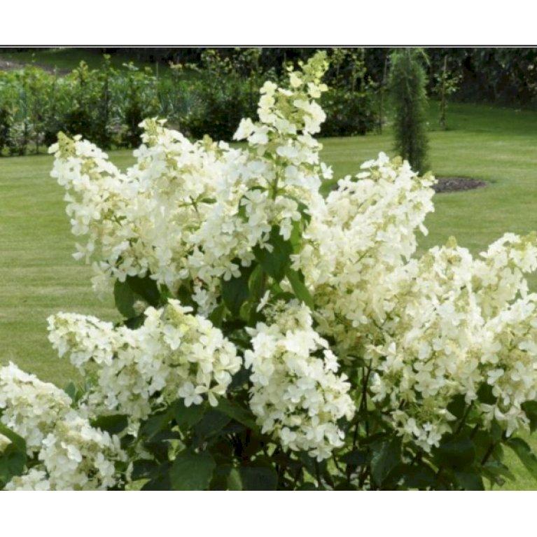 Syrén-Hortensia 'White Lady'