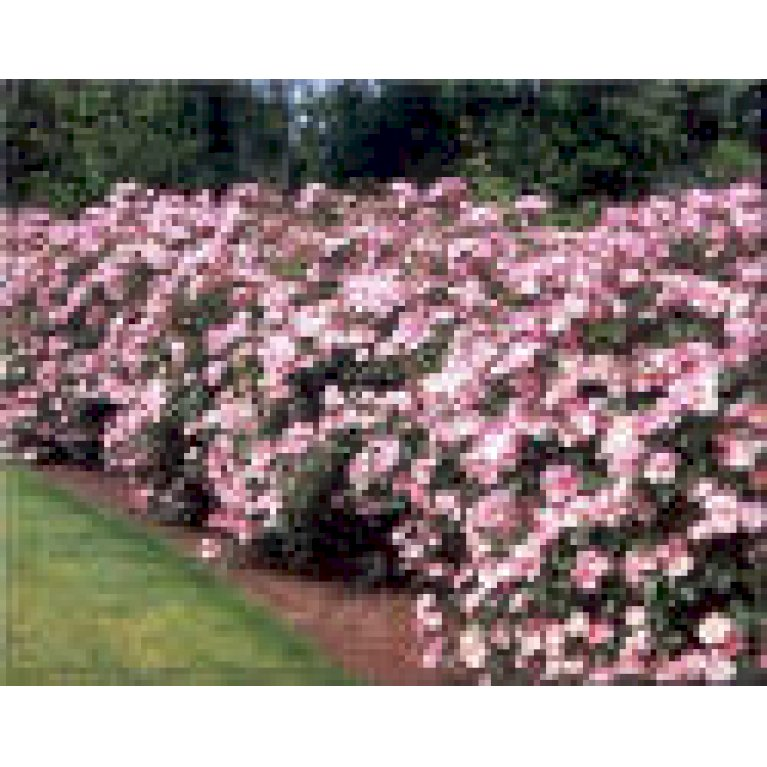 Buketrose 'Rosy Cushion'