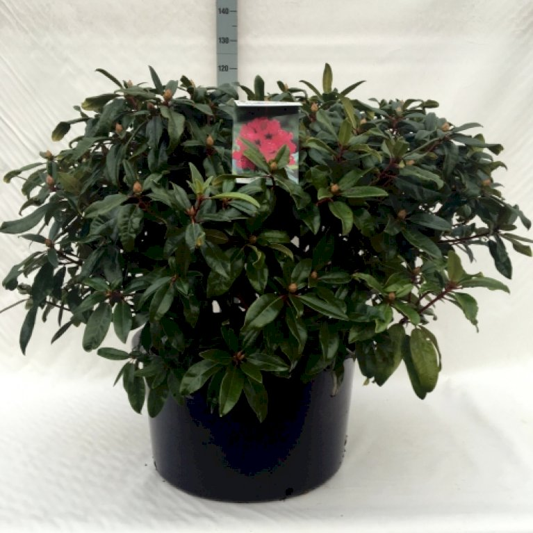 RHODODENDRON 'MARIE FORTE'