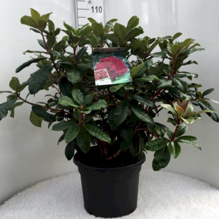 RHODODENDRON 'MOSERS MAROON'