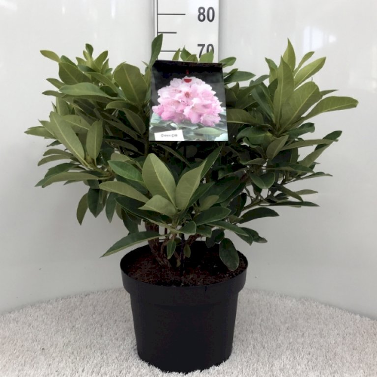 Rododendron 'Onkel Dines'