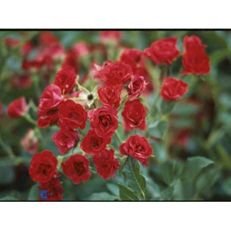 Buketrose 'Scarlet Meidiland'