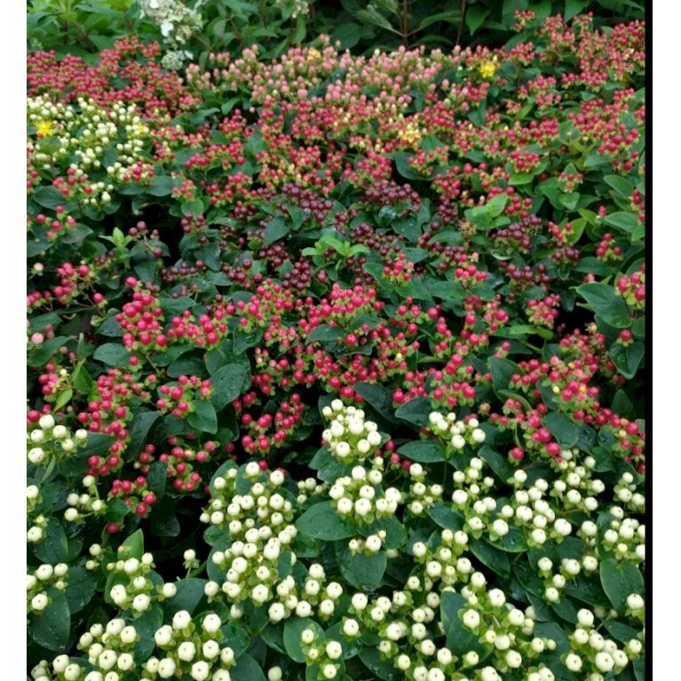 Hypericum 'Miracle Blossom'