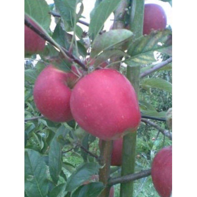 Æble 'Maribelle'