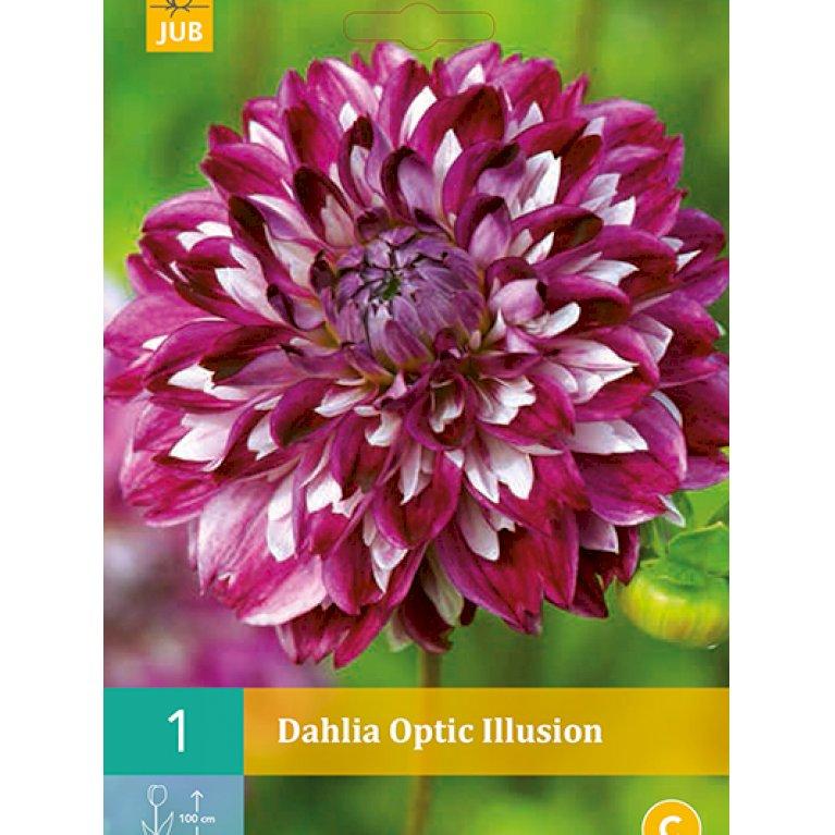 Dahlia Optic Illusion