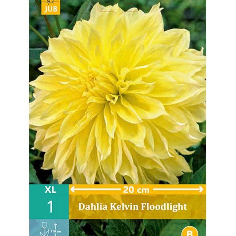 Dahlia Kelvin Floodlight