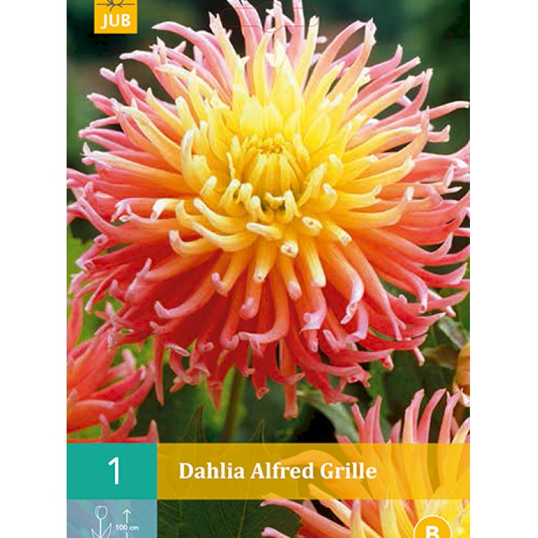 Dahlia Alfred Grille