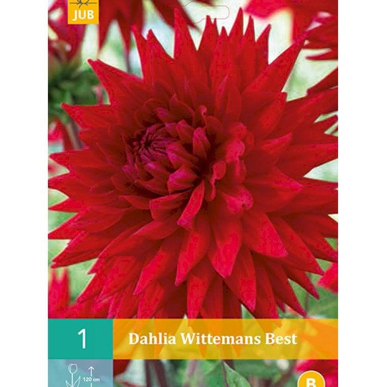 Dahlia Wittemans Best