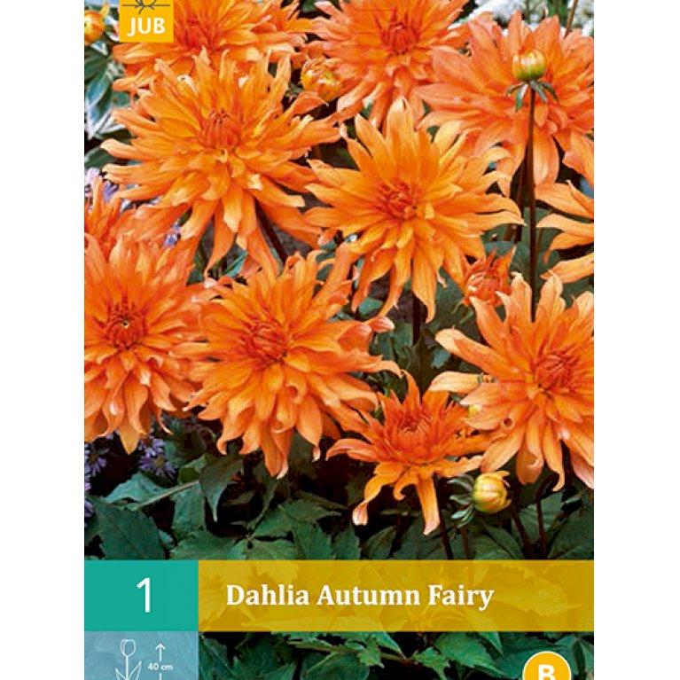 Dahlia Autumn Fairy