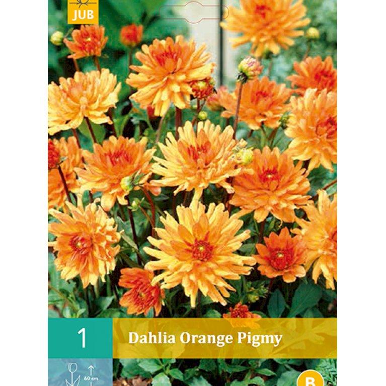 Dahlia Orange Pigmy