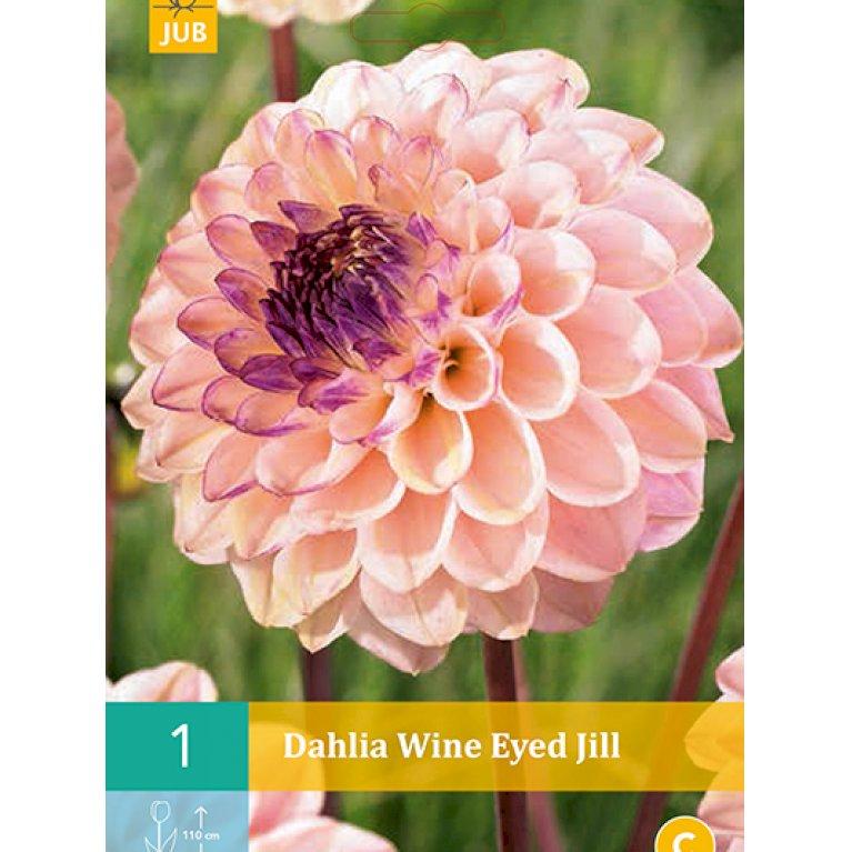 Dahlia Wine Eyed Jill