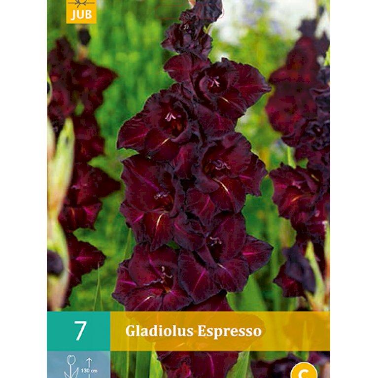 Gladiolus Espresso
