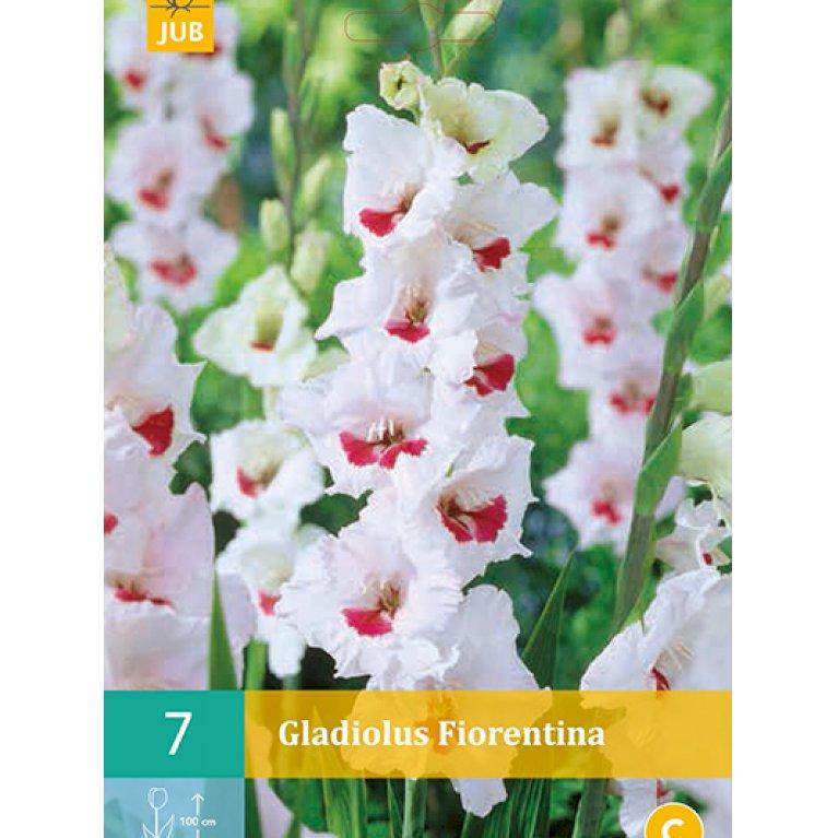 Gladiolus Fiorentina