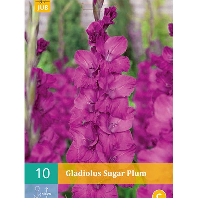 Gladiolus Sugar Plum
