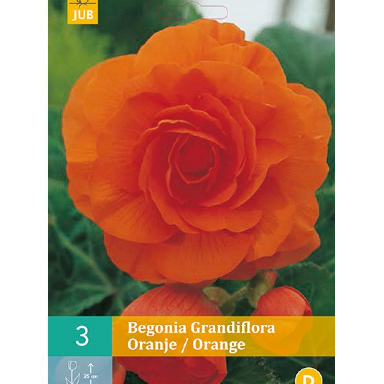 Begonia Grandiflora Orange