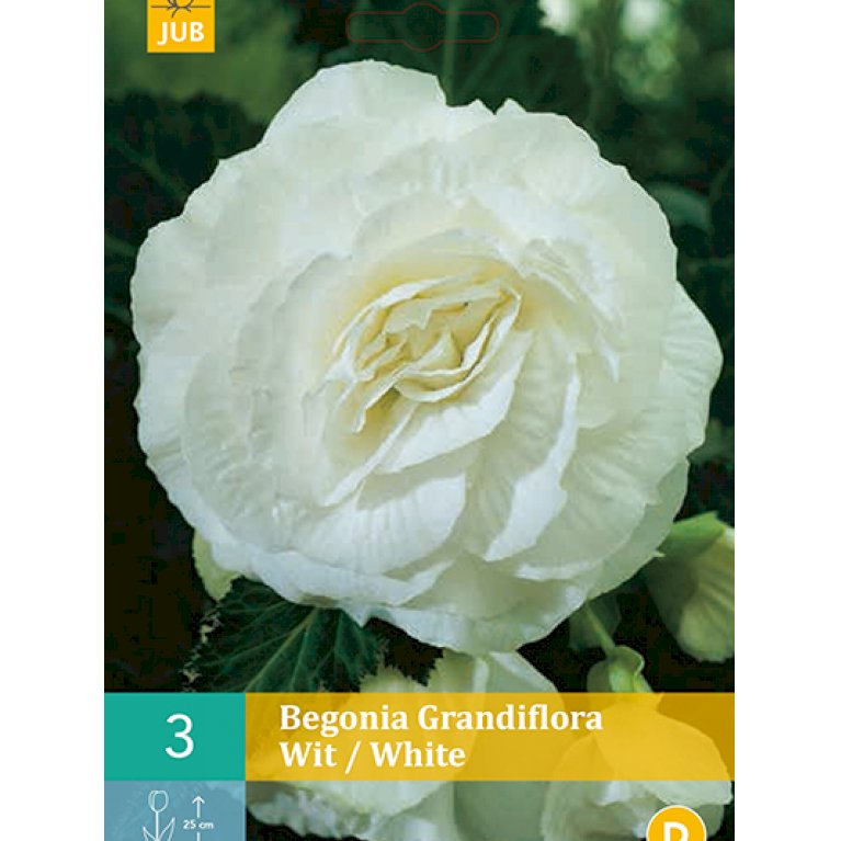 Begonia Grandiflora Hvid