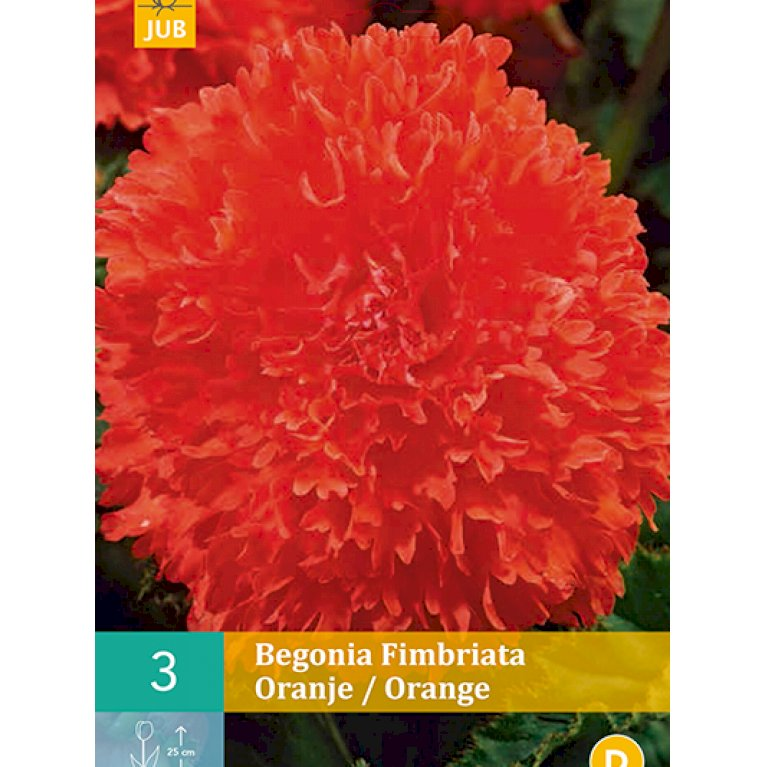 Begonia Fimbriata Orange