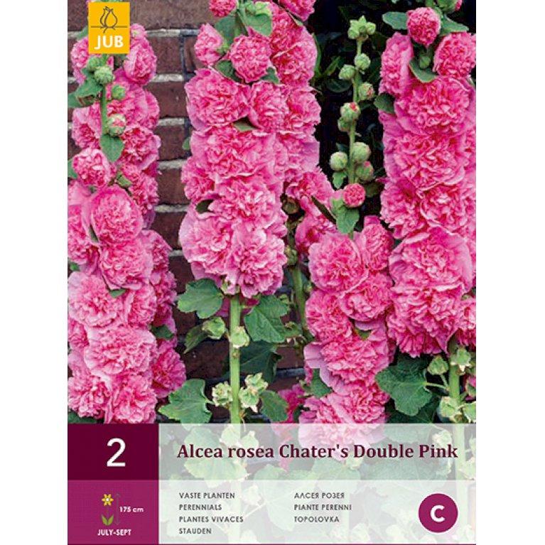 Stokrose Chater's Dobbelt Pink