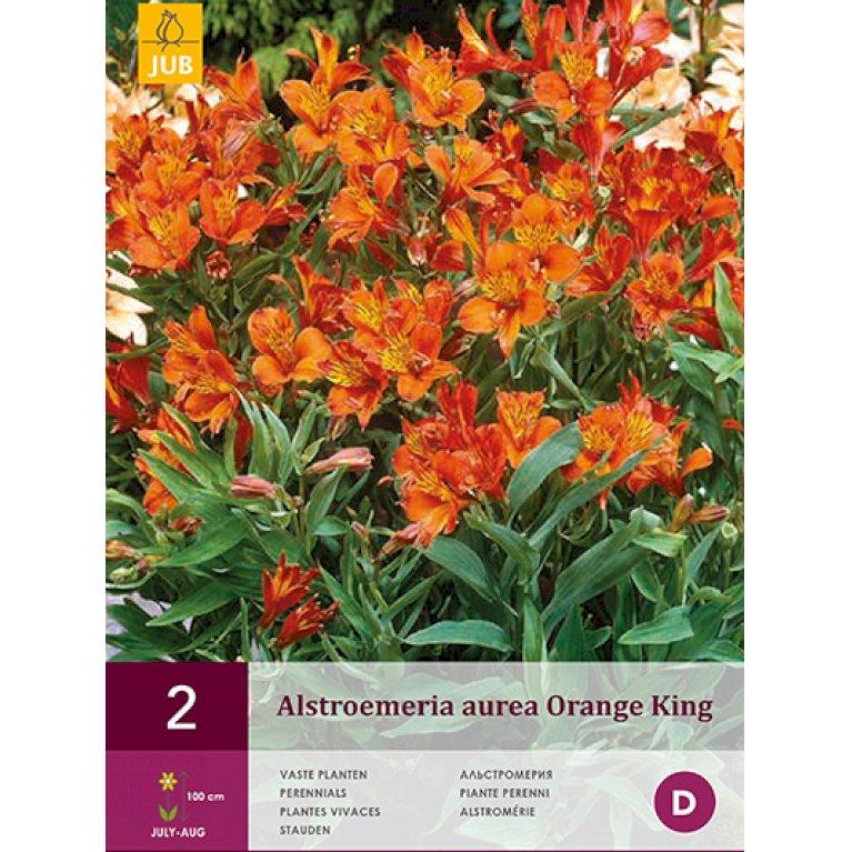 Inkalilje Aurea Orange King
