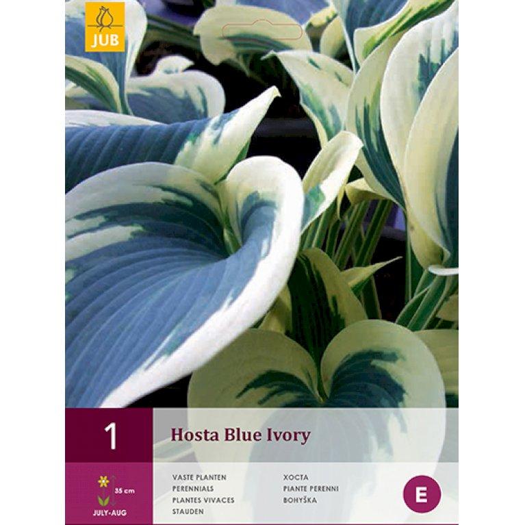 Funkia Blue Ivory