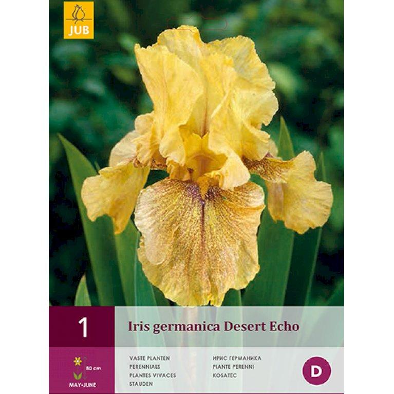 Iris germanica Desert Echo