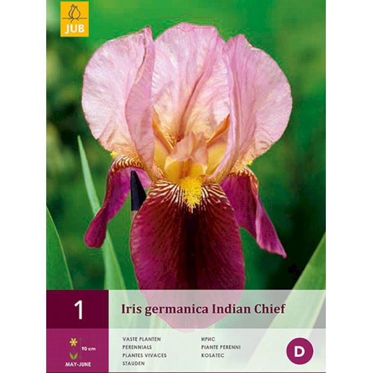 Iris Indian Chief