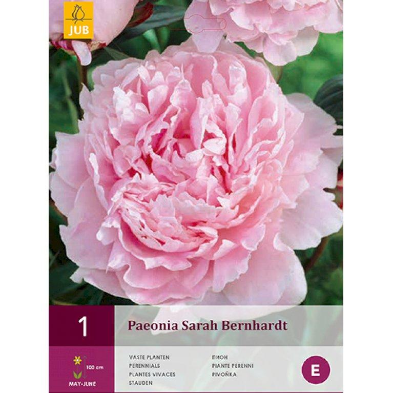 Paeon Sarah Bernhardt
