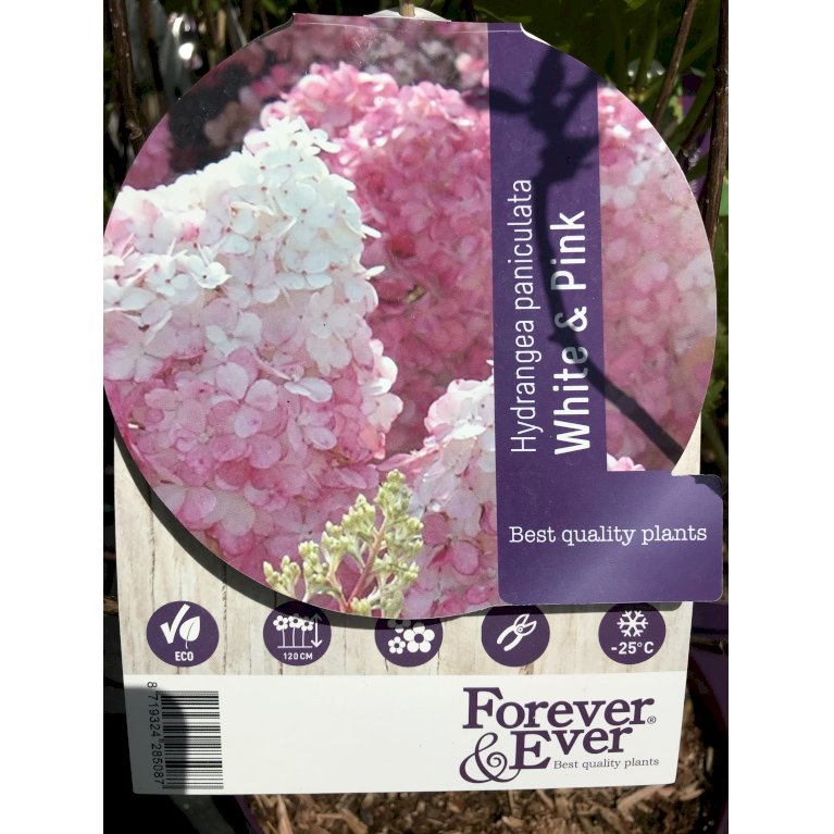 Havehortensia 'Forever & Ever White & Pink'