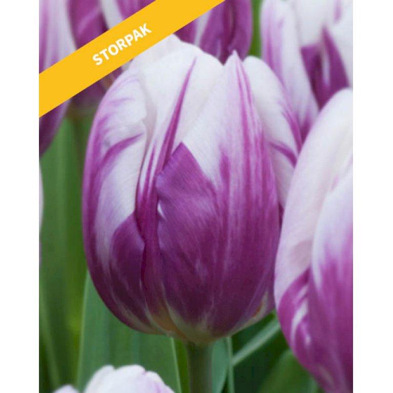Tulipan 'Flaming Prince'