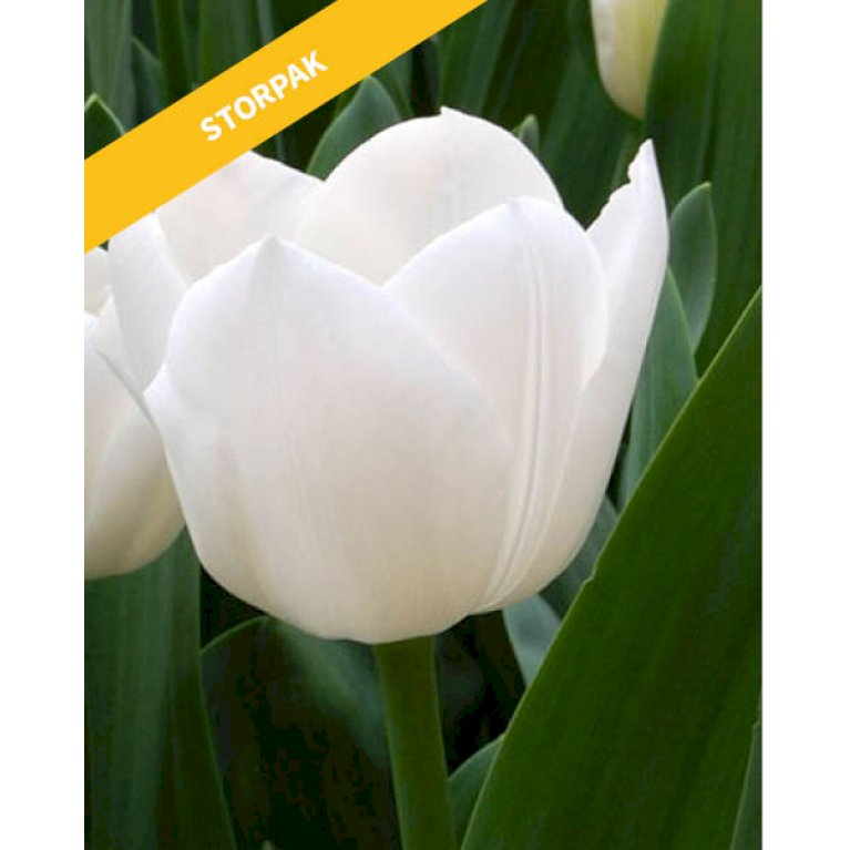 Tulipan 'Royal Virgin'