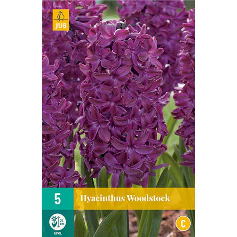 Hyacinth Woodstock