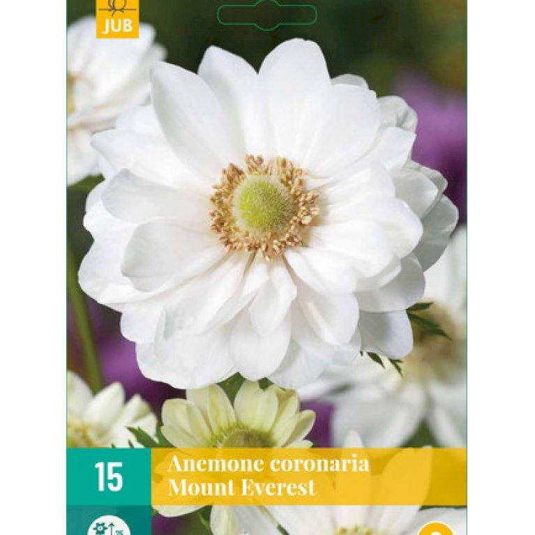 Anemone 'Coronaria Mount Everest Nj'