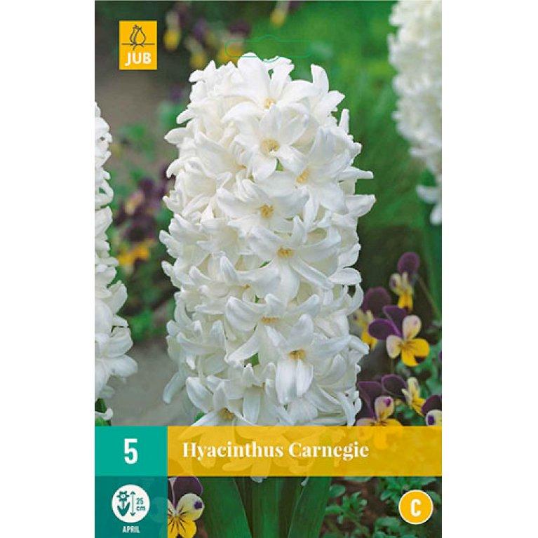 Hyacinths Carnegie