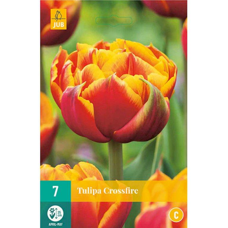 Tulips Crossfire
